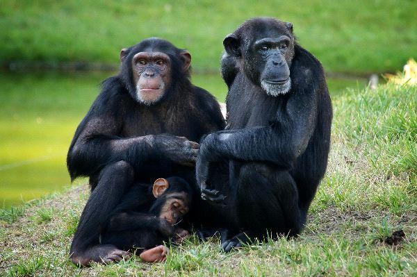 A que filo pertenece el chimpance