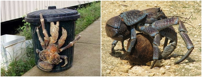 animales-raros-cangrejo-coco