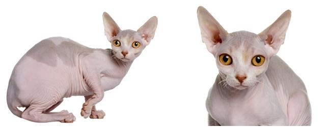 animales-raros-gato-esfinge
