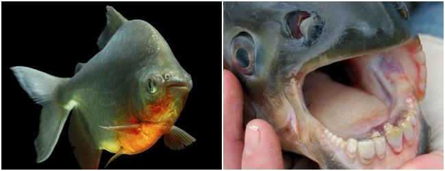 animales-raros-pez-pacu