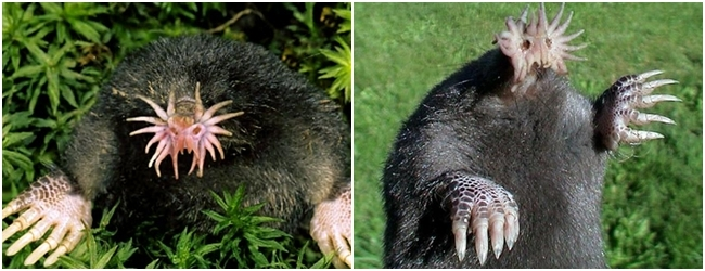 animales-raros-topo-nariz-estrellada