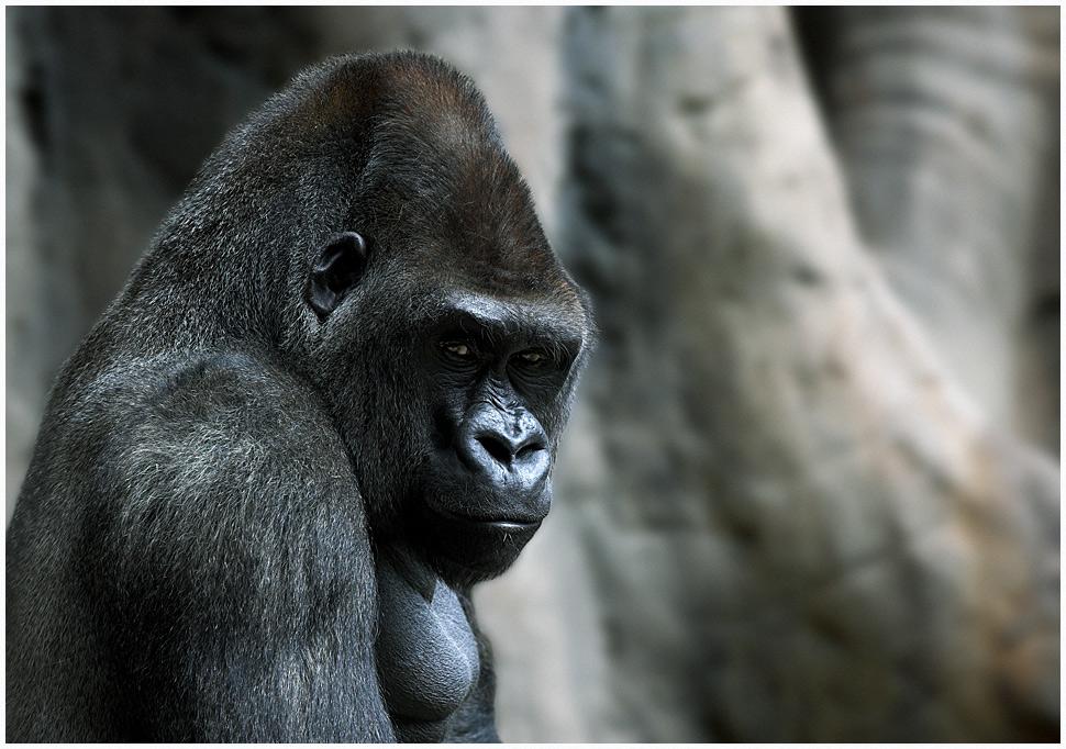 fauna-gorila