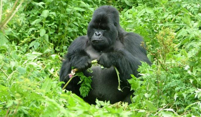 gorila-de-montaña2_g