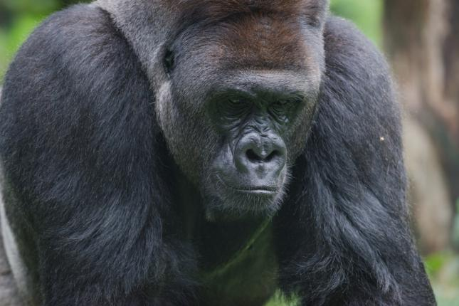 gorila_triste
