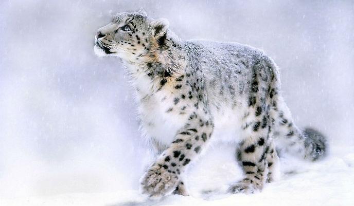 leopardo-de-las-nieves2_g