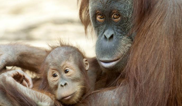 orangutan_g