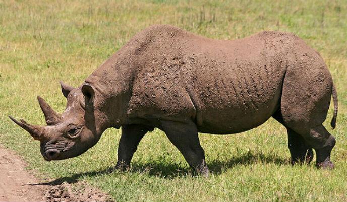 rinoceronte-de-java_g