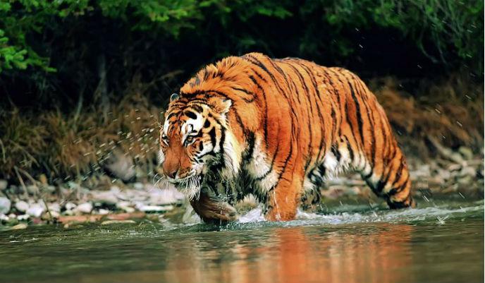 tigre2_g