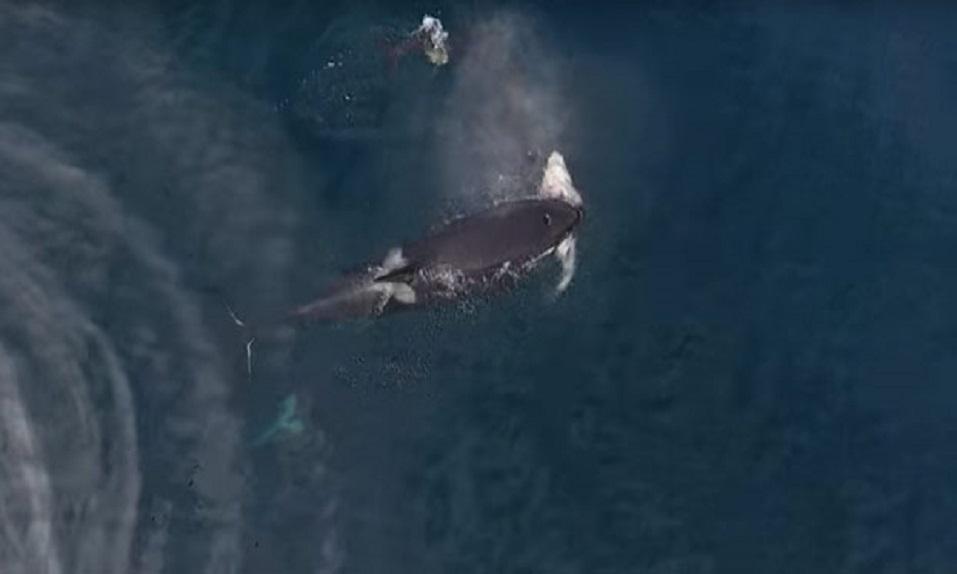 ¡Un dron graba cómo se comen a un TIBURÓN un grupo de ORCAS! - CABROWORLD