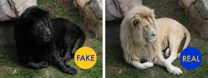 león-negro-730x275