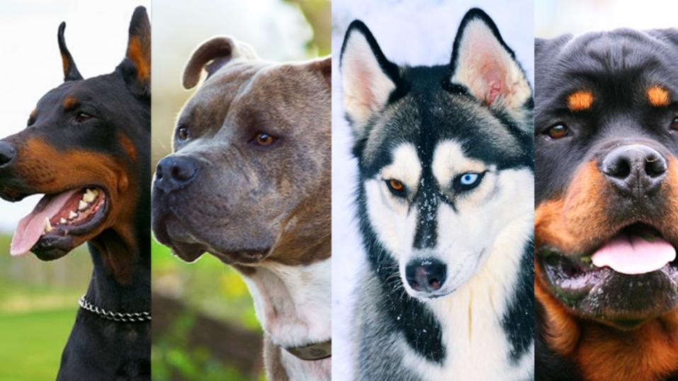 ¿Qué razas de perros están prohibidas en cada país? - CABROWORLD