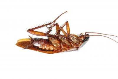 7987321-error-de-insectos-cucaracha-muerta-aislado-en-blanco