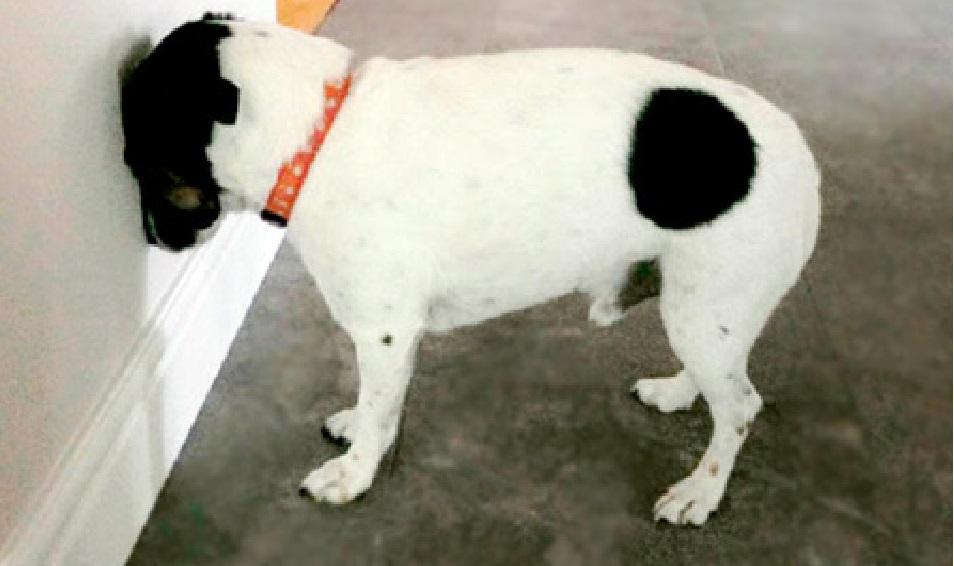 ¿Por qué mi perro se queda mirando a la pared? - CABROWORLD