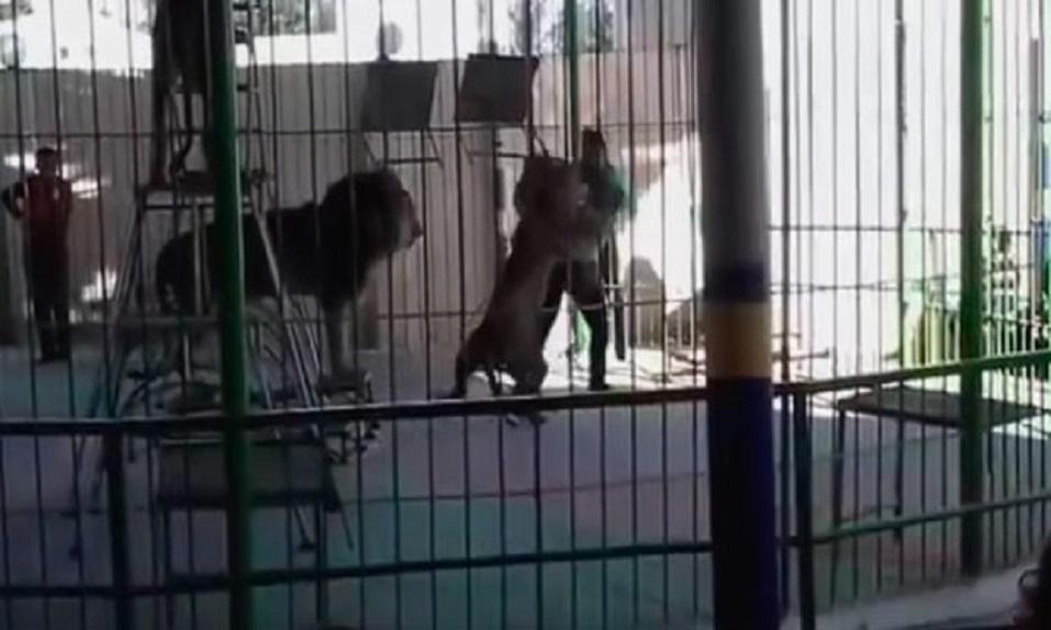 ¡Niños observan el ataque de un LEÓN a su domador en un CIRCO! - CABROWORLD